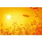 Corn ears against rising sun